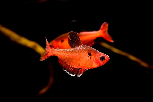 Рыбка отряда Харацинообразные (Characiformes)